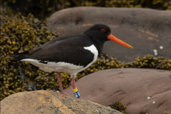 Oystercatcher M5 Norway 2020 06 06