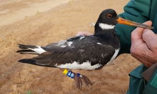 Oystercatcher with GPS tag